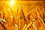 Average Wheat Prices Compared for Biggest Wheat Export Countries